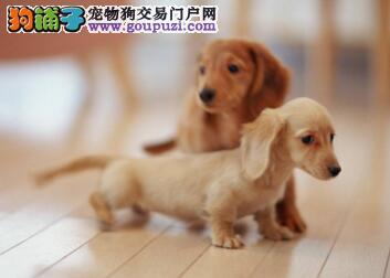 合肥最大犬舍出售多种颜色腊肠犬诚信信誉为本
