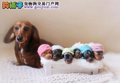 腊肠犬 血统正 身体健康 CKU注册犬舍