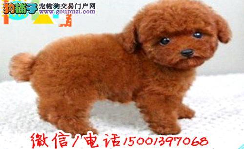 茶杯泰迪 迷你泰迪 玩具泰迪纯种泰迪犬 多种颜色选