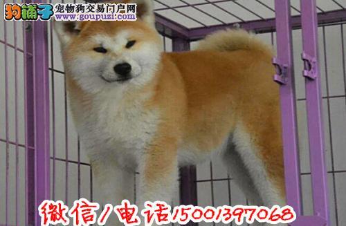 纯种秋田犬日系秋田犬幼犬冠军后代品质保证