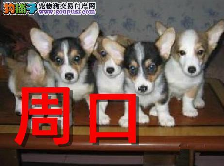 周口本地狗场柯基犬销售,本地狗场几十个品种