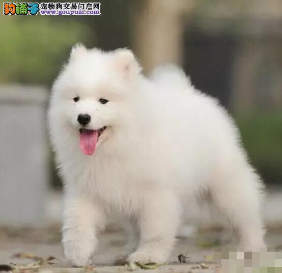 哪里卖精品微笑天使萨摩耶13182559965CKU专业认证犬舍