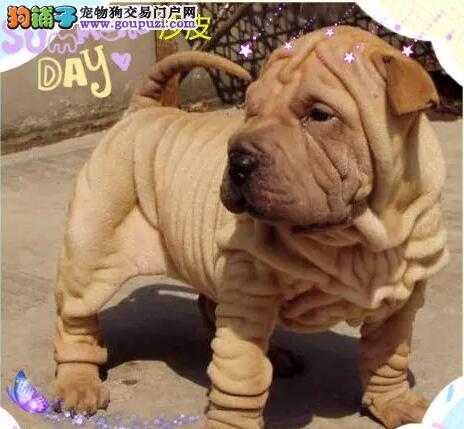 哪里卖CKU专业认证犬舍直销忧郁王子沙皮13182559965
