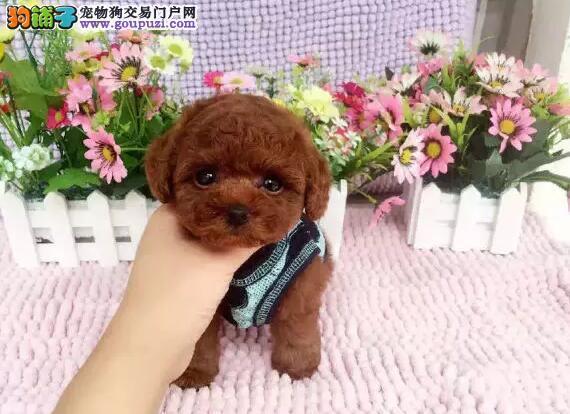 哪里卖活动特价8只13182559965CKU专业认证犬舍贵宾犬