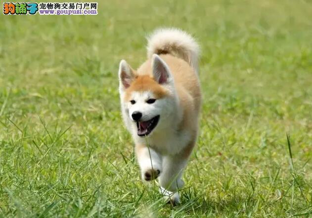 哪里卖高端柴犬13182559965纯种健康有保障CKU认证犬舍