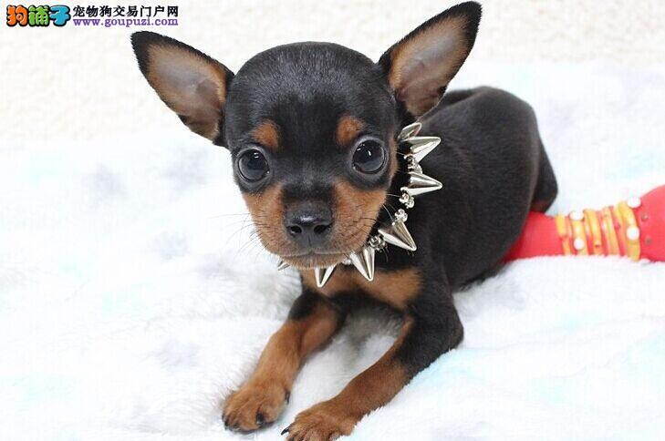 高品质小鹿犬幼犬CKU专业认证喜欢加微信