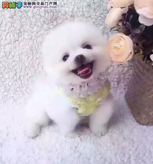 CKU认证犬舍精品纯种博美可视频质量有保障