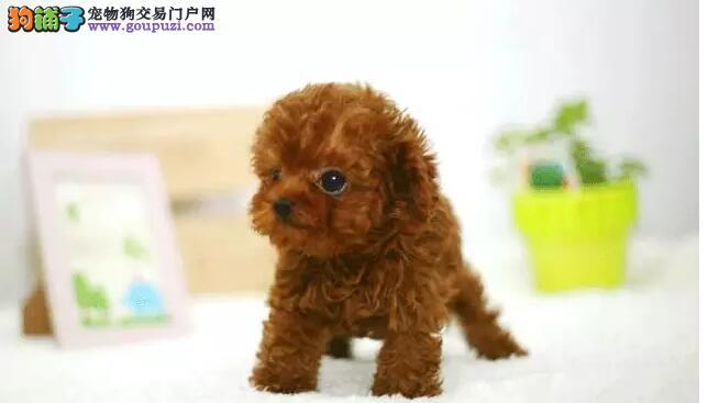 哪里卖纯种健康精品泰迪CKU认证犬舍喜欢加微信