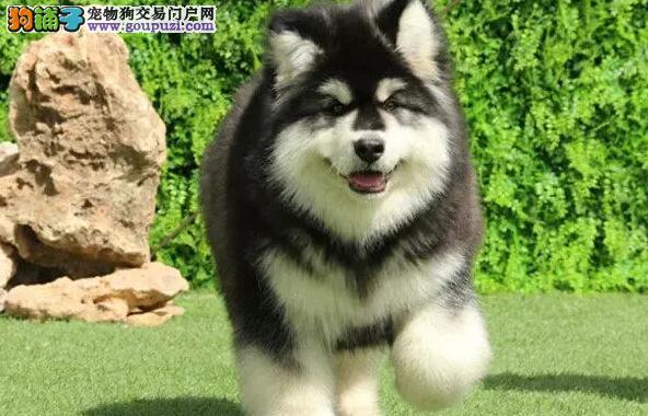 熊版大骨霸气阿拉斯加犬熊版幼犬CKU认证喜欢加微信