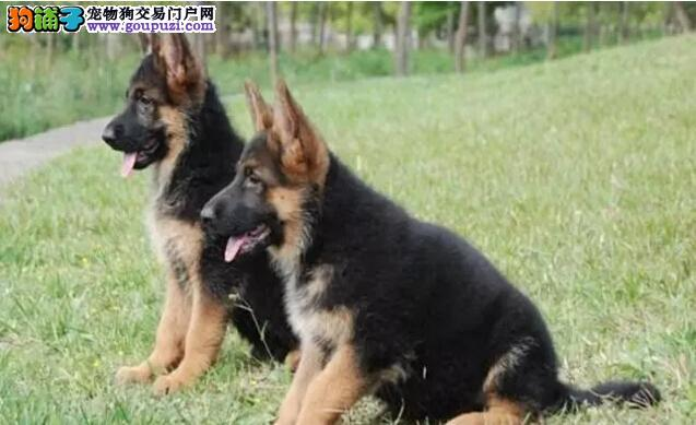 哪里卖德牧13182559965CKU专业认证犬舍纯种健康犬舍