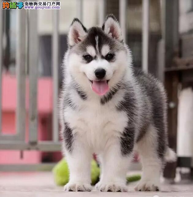 CKU认证犬舍精品纯种健康哈士奇质量保证喜欢加微信