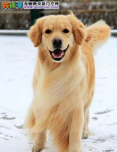 哪里卖高端正规金毛13182559965CKU专业认证犬舍纯种
