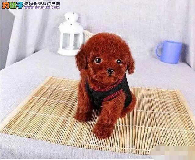 哪里卖精致可爱茶杯犬特价各种品种都有13182559965
