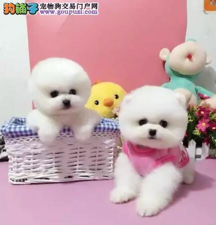 哪里有卖超萌系甜心小博美13182559965CKU认证犬舍