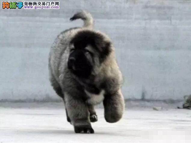 哪里卖犬中之王霸气高加索CKU专业认证犬舍13182559965