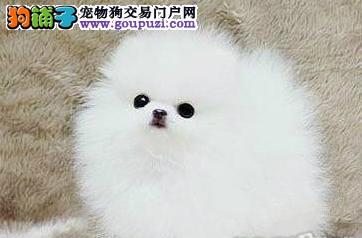 顶级神犬小七版拉布拉多CKU专业认证13182559965