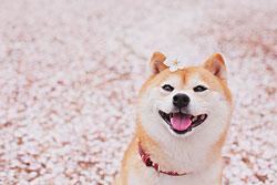 超萌柴犬 您开心的伴侣纯种健康有保障