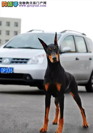 最富智慧杜宾犬 健康精品喜欢加微信