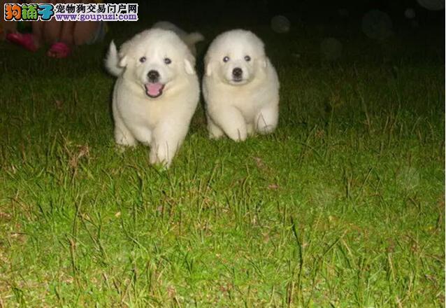 哪里卖守护救助伴侣首选大白熊精品纯种13182559965