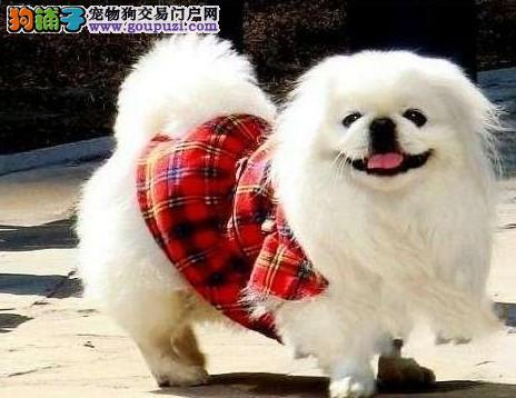 奢侈京巴出售健康精品专业犬舍繁育可上门全国各地发货