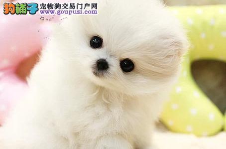 正规犬舍直销精品博美超可爱 各种品种均有纯种包养活