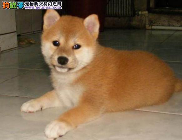 柴犬正规犬舍繁育精品高端纯种名犬可签协议包养活