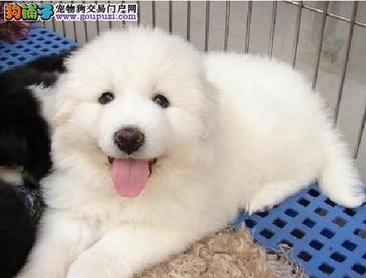 大白熊哪里卖守护伴侣大白熊CKU认证精品纯种健康犬舍