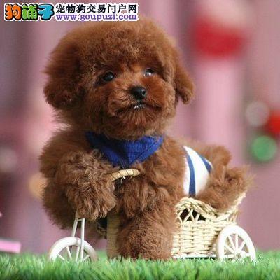 哪里卖尊贵贵宾犬13182559965超萌CKU专业认证犬舍