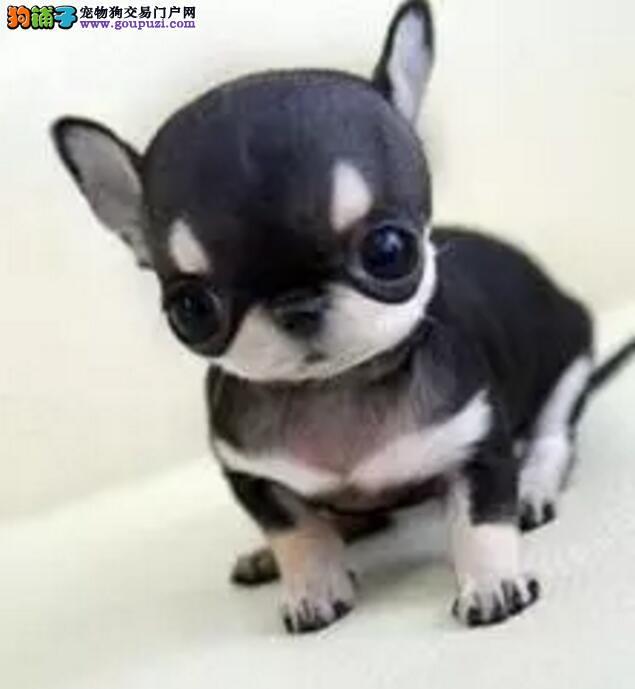 吉娃娃犬 哪里卖吉娃娃各种颜色均有纯种健康包养活