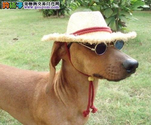 腊肠犬 温顺好训练精品纯种腊肠犬纯种健康包养活