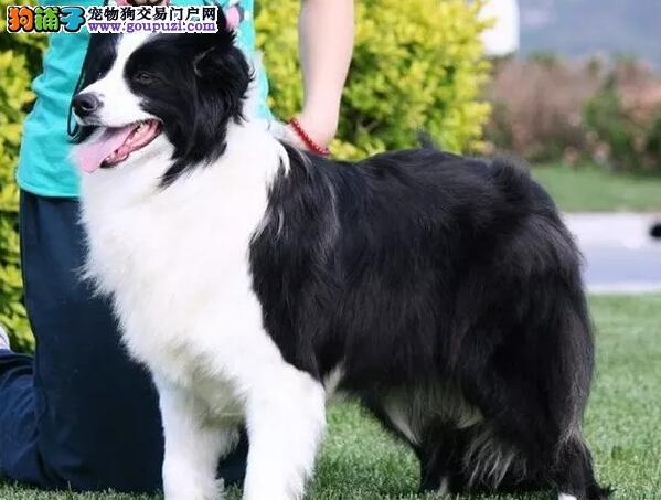苏格兰牧羊犬哪里卖边牧聪明好训练犬舍经营40多种名犬