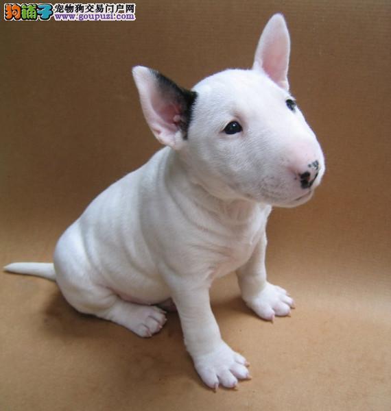 哪里出售明星同款牛头梗犬舍繁殖出售40多种名犬包养活