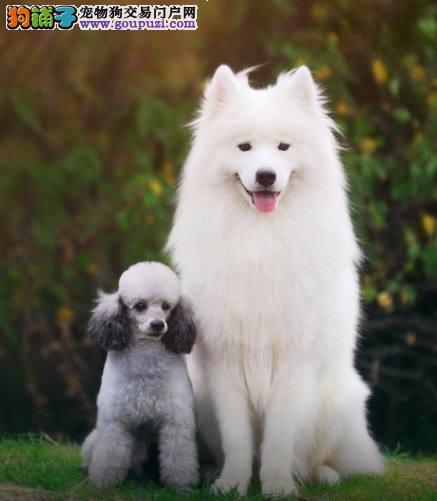 萨摩耶犬哪里出售纯种健康精品萨摩正规犬舍直销有保障