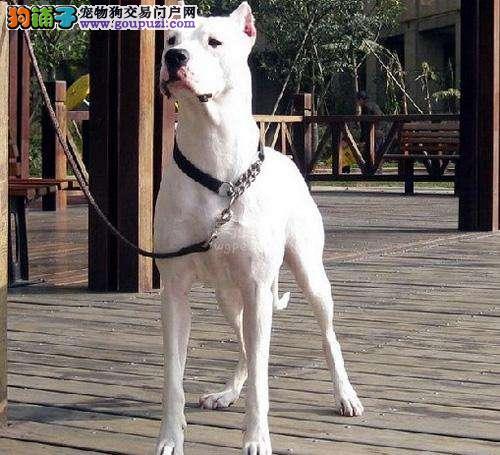 哪里卖纯种健康精品杜高13182559965CKU专业认证犬舍