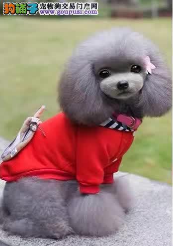 泰迪犬哪里卖泰迪各种颜色均有高智商开心伴侣包纯种