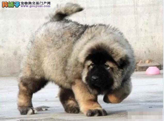 高加索犬 哪里出售高加索大骨架 CKU认证纯种健康精品