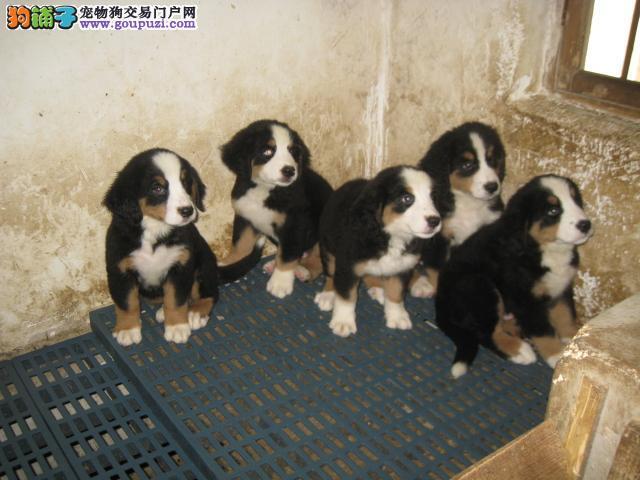 哪里卖各种名犬CKU专业认证生活好伴侣13182559965