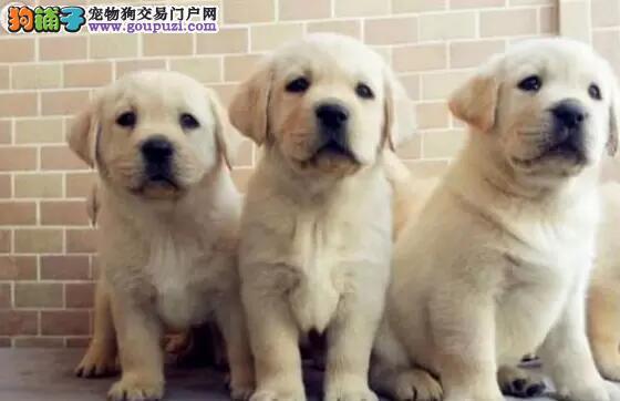 高品质拉布拉多犬小七兄弟犬顶级血统喜欢加微信