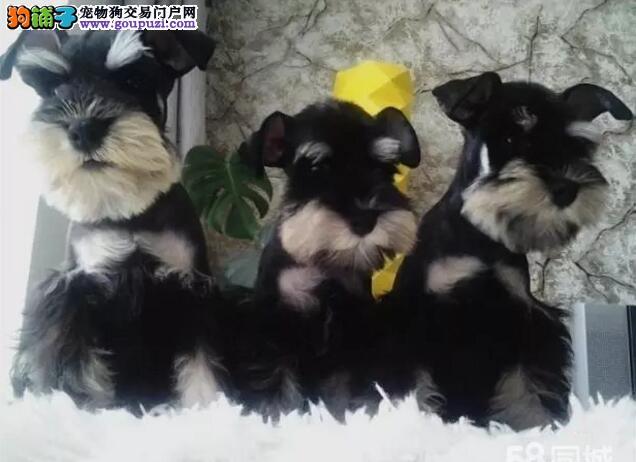 雪纳瑞犬哪里卖精品纯种雪纳瑞各种颜色均有可上门挑选
