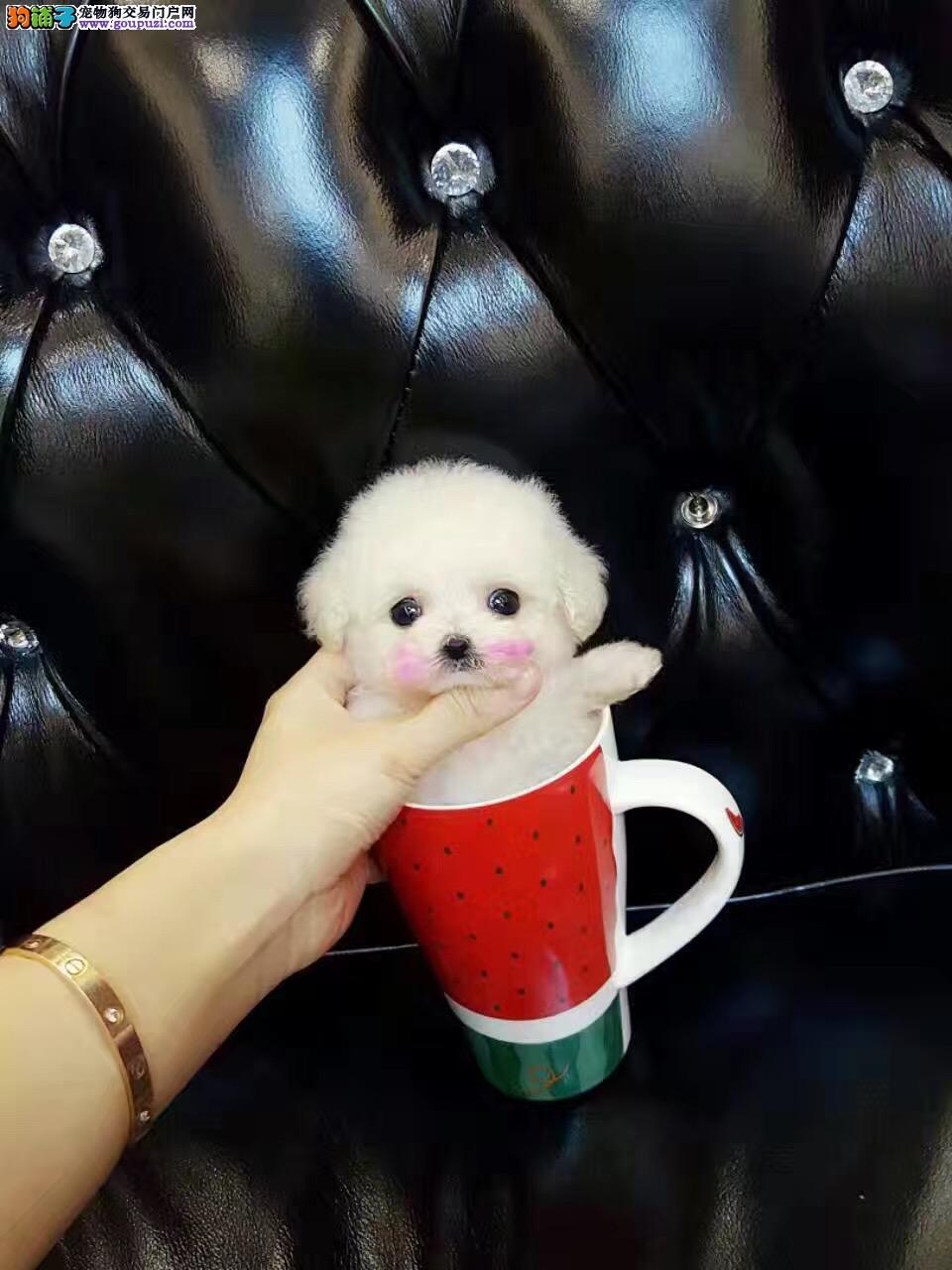 精致可爱茶杯犬出售各种颜色各种茶杯犬均有质量有保证