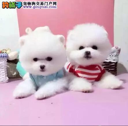 博美犬哪里卖超萌系甜心小博美各种类型均有纯种包养活
