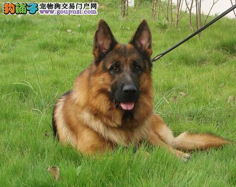 德牧宠物级赛级精品各种名犬均有CKU专业认证犬舍