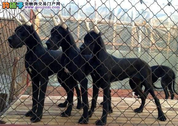 大丹犬 贵族的象征各种名犬均有血统纯正包养活