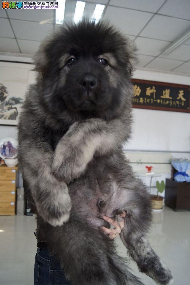 纽芬兰犬高端精品纯种包养活 巨型高加索 藏獒等犬均有