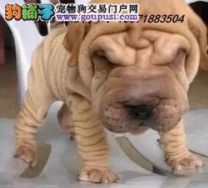 犬舍直销纯种血统沙皮犬 疫苗驱虫齐全 限时优惠!
