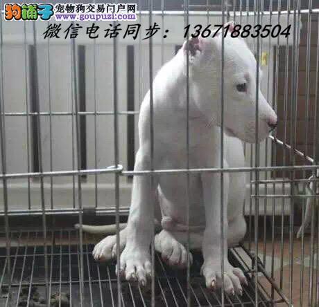西宁市犬舍直销纯种血统杜高犬 疫苗驱虫齐全 限时优惠!