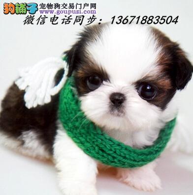 渝中区犬舍直销纯种血统西施犬 疫苗驱虫齐全 限时优惠!