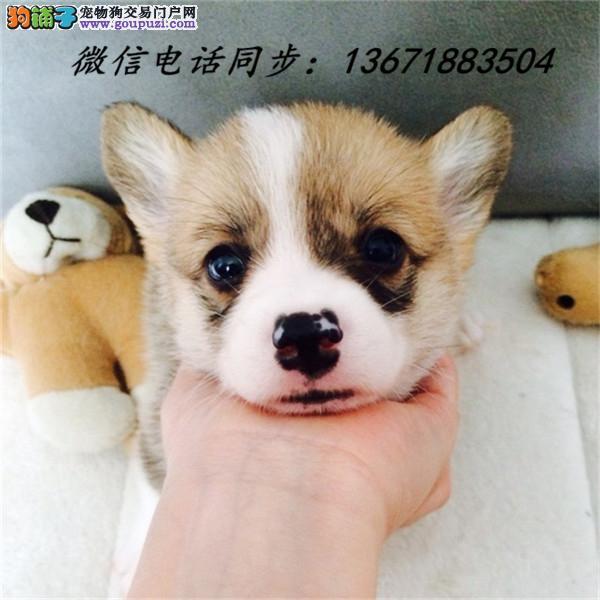 犬舍直销纯种血统柯基犬 疫苗驱虫齐全 限时优惠!
