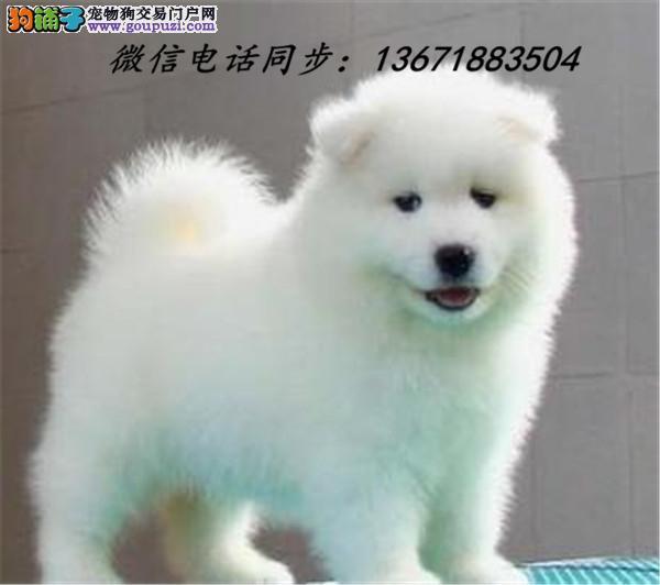 哈尔滨市犬舍直销纯种血统大白熊疫苗驱虫齐全 限时优惠!