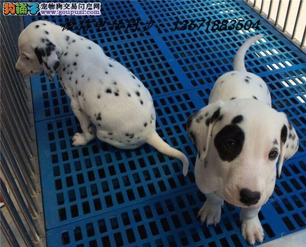 济宁市犬舍直销纯种血统斑点犬 疫苗驱虫齐全 限时优惠!